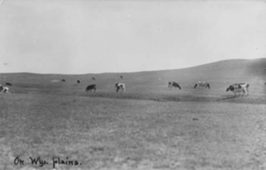 POSTCARDS-CATTLE